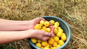 Mogna saftiga organiska aprikors i händerna av en flicka Ultrarapid 4k lager videofilmer