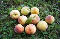 Mogna saftiga persikor med enrosa färger hud Arkivbild