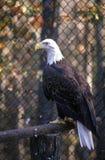 Mogna skalliga Eagle, land mellan sjöar, KY Arkivfoto