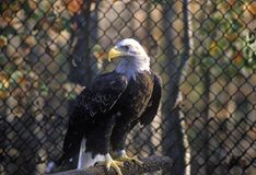 Mogna skalliga Eagle, land mellan sjöar, KY Royaltyfri Bild