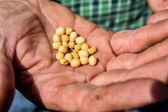 Mogna sojabönor i handen av en familjbonde Fotografering för Bildbyråer