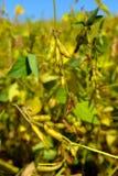 Mogna sojabönor i fältet Royaltyfri Fotografi