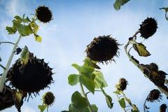 mogna solrosor Fotografering för Bildbyråer