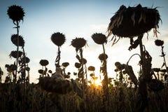mogna solrosor Royaltyfri Foto