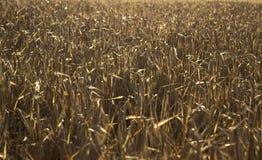 Mogna spikelets av vete i ett fält på solnedgången Jordbruk arkivfoto