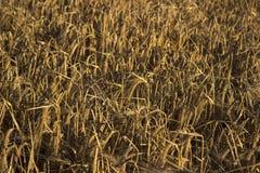Mogna spikelets av vete i ett fält på solnedgången Jordbruk arkivbild
