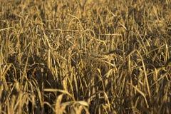Mogna spikelets av vete i ett fält på solnedgången Jordbruk Het royaltyfri bild