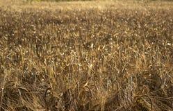 Mogna spikelets av vete i ett fält på solnedgången Jordbruk Het royaltyfri foto