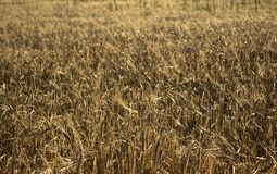 Mogna spikelets av vete i ett fält på solnedgången Jordbruk Het arkivfoton