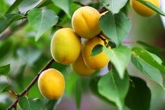 Mogna stora gula aprikors hänger på en filial med gröna sidor Royaltyfria Foton