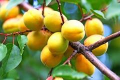 Mogna stora gula aprikors som hänger på en filial Arkivfoto