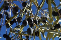 Mogna svarta oliv, oleaeuropaea som växer på träd arkivfoton