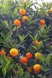 Mogna tangerines Arkivbilder