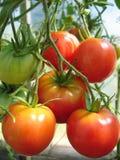 mogna tomater för grupp Royaltyfri Foto
