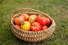 Mogna tomater i en korg på gräsbakgrund Arkivfoto