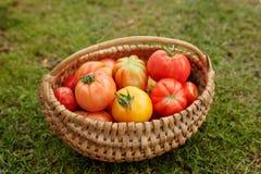 Mogna tomater i en korg på gräsbakgrund Royaltyfri Bild