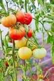 Mogna tomater i växthus Arkivbild