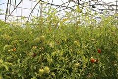 Mogna tomater som är fullvuxna i ett växthus Fotografering för Bildbyråer