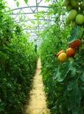 Mogna tomater som är fullvuxna i ett växthus Royaltyfri Bild