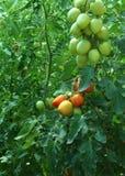 Mogna tomater som är fullvuxna i ett växthus Royaltyfria Bilder