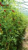 Mogna tomater som är fullvuxna i ett växthus Royaltyfria Foton