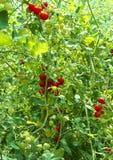 Mogna tomater som är fullvuxna i ett växthus Arkivbild