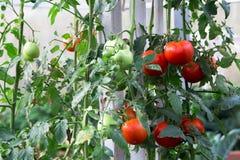 Mogna tomater som är klara att välja i ett växthus Royaltyfri Fotografi