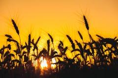 Mogna torra spikelets av den guld- färgnärbilden för vete i fältet på en bakgrundssolnedgång Royaltyfri Foto
