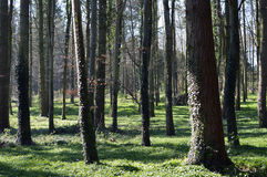 Mogna träd i skogsmark Royaltyfri Bild