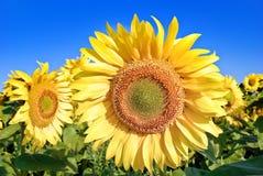 Mogna unga solrosor på bakgrunden för blå himmel. Fotografering för Bildbyråer