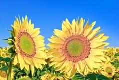 Mogna unga solrosor på bakgrunden för blå himmel. Royaltyfri Bild