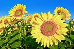 Mogna unga solrosor på bakgrunden för blå himmel Arkivfoto