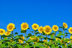 Mogna unga solrosor på bakgrunden för blå himmel Arkivbild