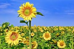 Mogna unga solrosor på bakgrunden för blå himmel Royaltyfri Fotografi
