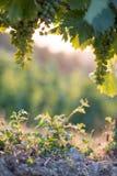 Mogna vinrankadruvor på ett lantgård-, sugrör- och kopieringsutrymme italy tuscany royaltyfria bilder