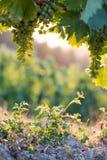 Mogna vinrankadruvor på ett lantgård-, sugrör- och kopieringsutrymme italy tuscany royaltyfri foto