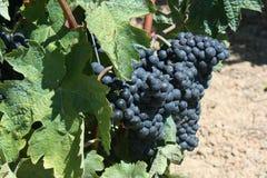 Mogna vinrankor för viner Royaltyfri Fotografi