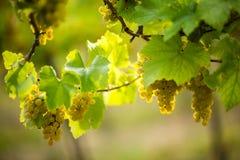 Mogna vita druvor i vingården royaltyfria bilder