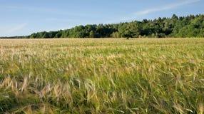 Mognad av korn SOMMAREN landskap Arkivfoto