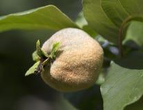 Mognad frukt av kvitten på trädet, slut upp royaltyfri foto