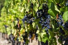 Mognade druvor på en vinranka arkivfoton