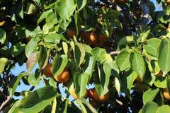 Mognade päron på ett träd i nedgång royaltyfri foto
