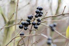 Mognade svarta bärfrukter för Ligustrum förgrena sig vulgare på buske fotografering för bildbyråer