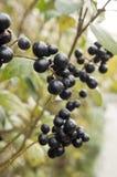 Mognade svarta bärfrukter för Ligustrum förgrena sig vulgare på buske royaltyfri bild