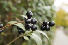 Mognade svarta bärfrukter för Ligustrum förgrena sig vulgare på buske arkivbild