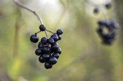 Mognade svarta bärfrukter för ligustrumen förgrena sig vulgare, buske med sidor royaltyfria foton