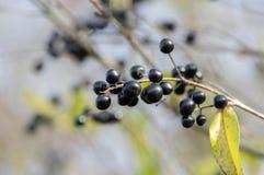 Mognade svarta bärfrukter för ligustrumen förgrena sig vulgare, buske med sidor royaltyfria bilder