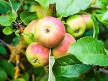 Mognande äpplen på trädet Royaltyfria Bilder