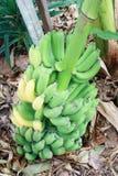 Mognande bananer för grupp på träd Royaltyfri Foto