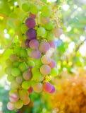 Mognande druvor på vinrankan Fotografering för Bildbyråer